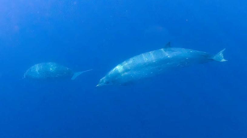 Czy to przedstawiciel nowego gatunku waleni?. Fot. Simon Ager/Sea Shepherd /materiały prasowe