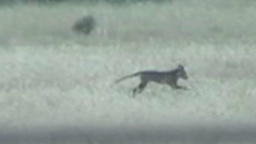 Czy tu widać wilka tasmańskiego? /materiały prasowe