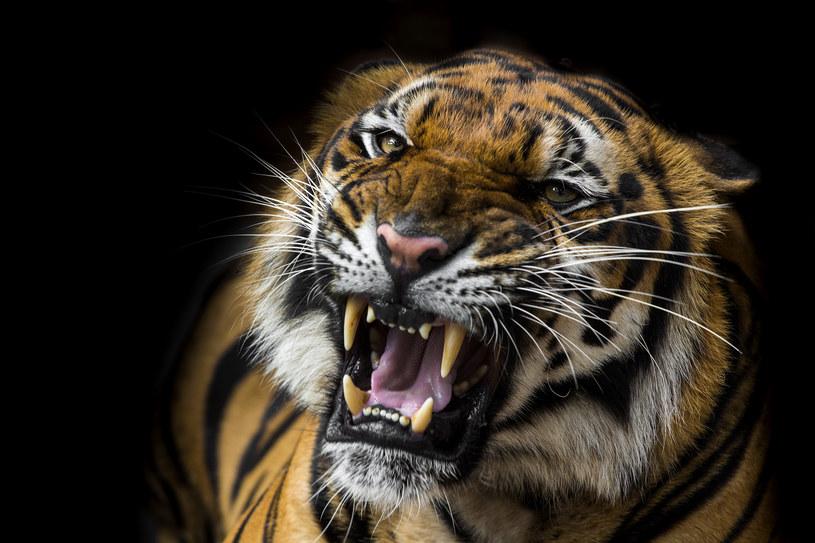 Czy tygrysy kiedyś wyginą? /123RF/PICSEL