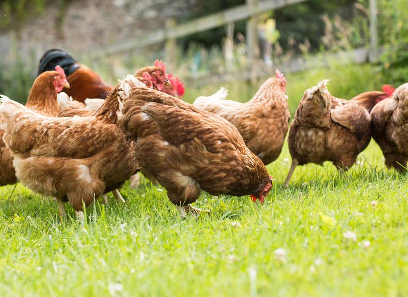 Czy warto jeść mięso z kurczaka? /123RF/PICSEL