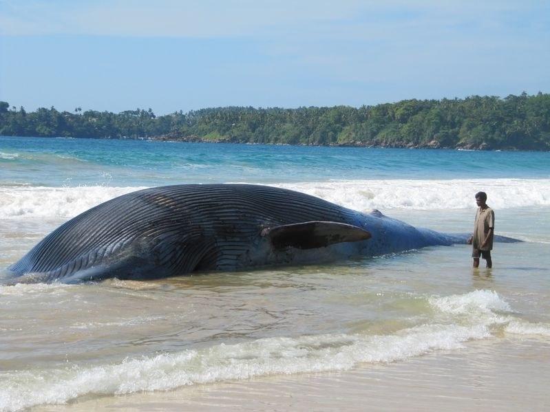 Czy za wyrzucanie waleni przez morze na brzeg odpowiadają burze magnetyczne? /123RF/PICSEL