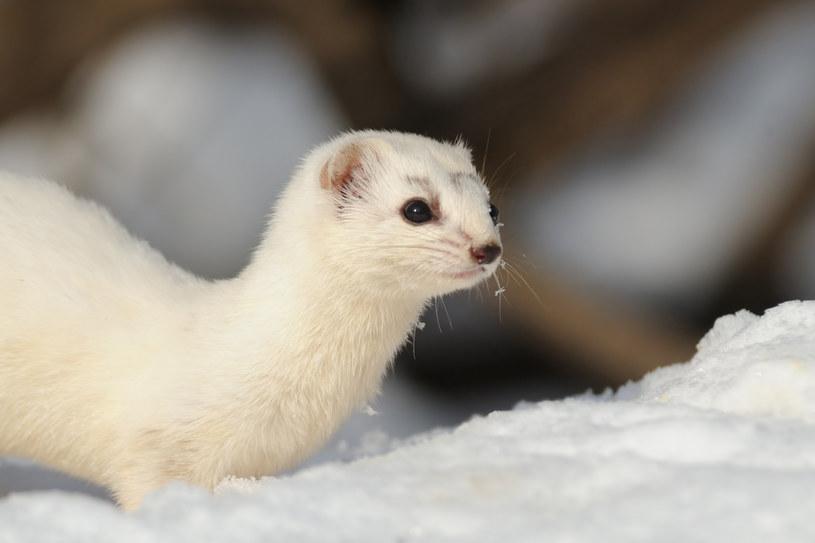 Czy zwierząt zmieniających futro na zimę będzie coraz mniej? /123RF/PICSEL