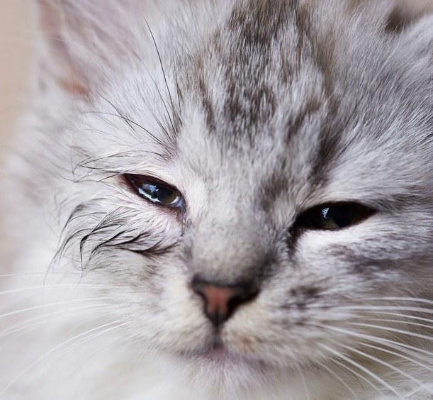 Czym jest koci katar i jak się objawia? /©123RF/PICSEL