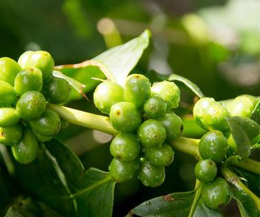 Czym jest zielona kawa i dlaczego warto ją pić?