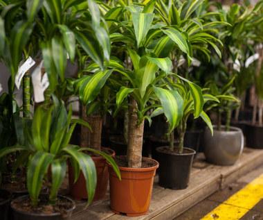 Czym myć liście roślin domowych, by im nie zaszkodzić?