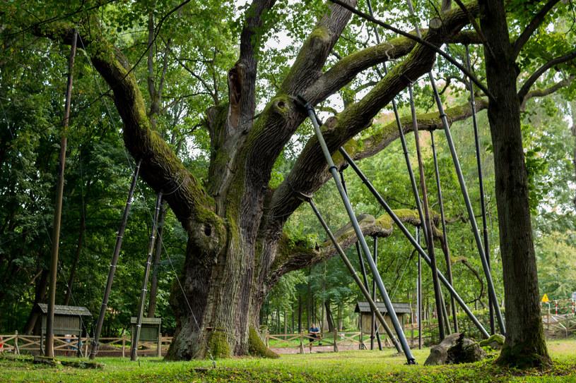 Dąb Bartek ma 30 metrów wysokości i 10 metrów obwodu. Znajduje się w województwie świętokrzyskim /123RF/PICSEL