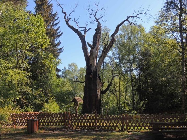 Dąb Chrobry – jeden z najstarszych dębów w Polsce - pierwszy raz od ponad 750 lat nie wypuścił liści / Nadleśnictwo Szprotawa /