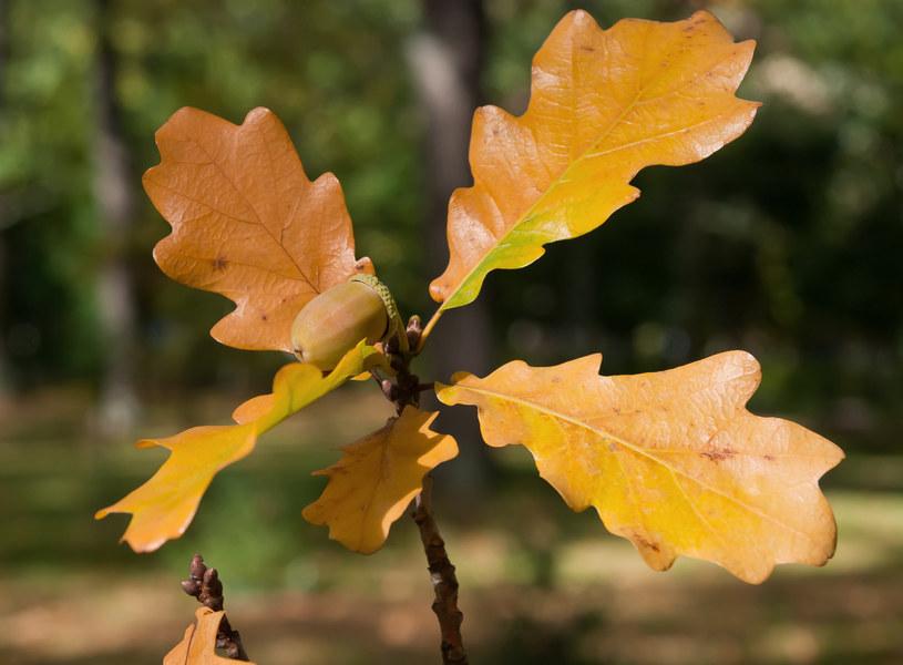 Dąb można łatwo rozpoznać po charakterystycznych zielonych liściach, które jesienią przybierają żółto-brązową barwę /123RF/PICSEL
