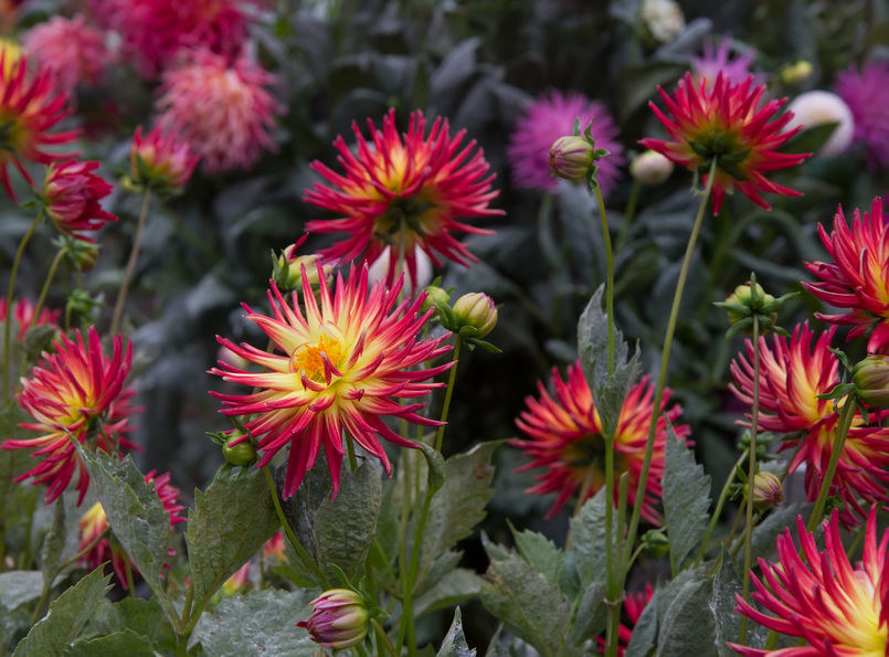 Dalia kaktusowa o dwubarwnych kwiatach /123RF/PICSEL