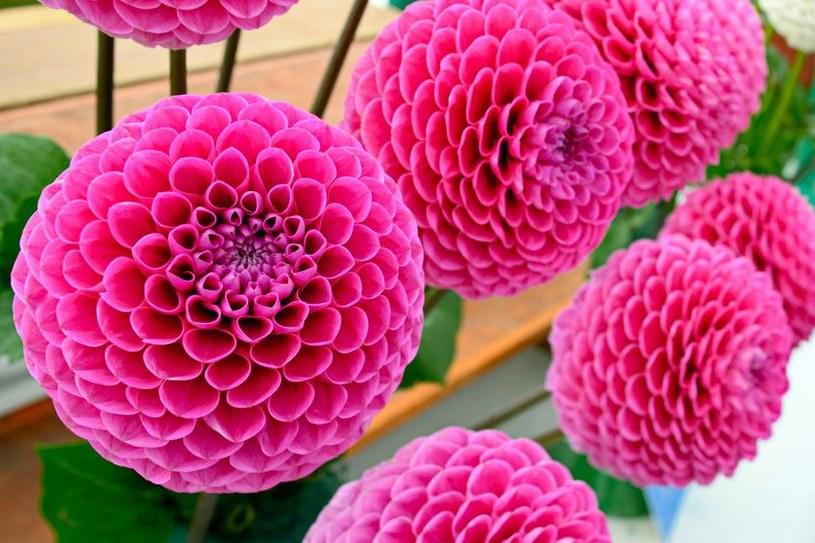 Dalia pomponowa zachwyca okrągłymi kwiatostanami /123RF/PICSEL