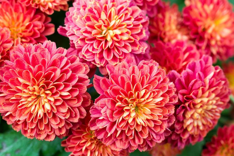 Dalie urzekają swymi dużymi, wielobarwnymi kwiatami /123RF/PICSEL