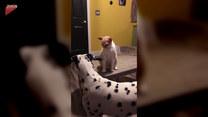 Dalmatyńczyk zaprasza kota do zabawy. Jego reakcja?