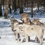 Dania: Wilki wróciły do kraju po 200 latach