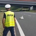 Dębica: Łabędź usiadł na autostradzie. Zablokował pas ruchu