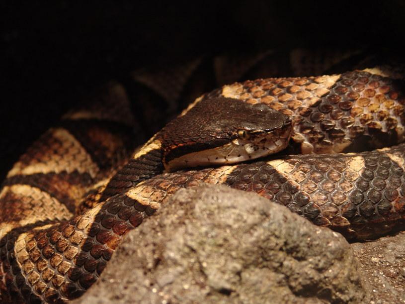 Deinagkistrodon acutus. Fot. Danleo /Wikipedia