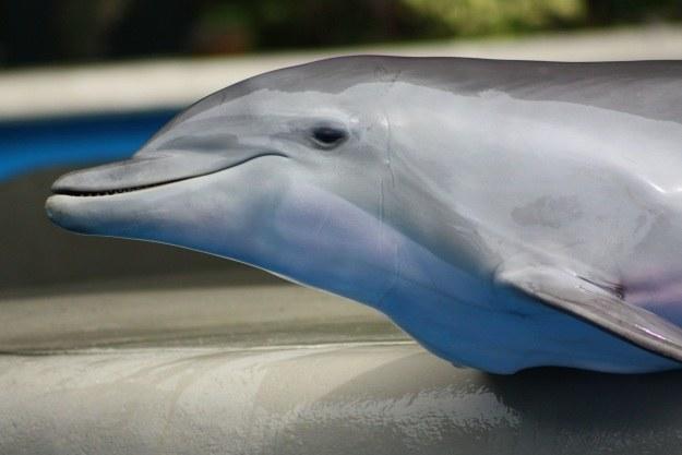 Delfiny bojowe wreszcie odejdą na zasłużoną emeryturę /123RF/PICSEL