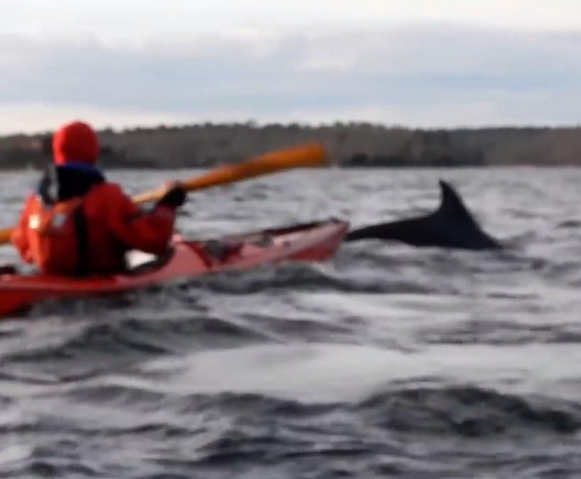Delfiny w Bałtyku /YouTube