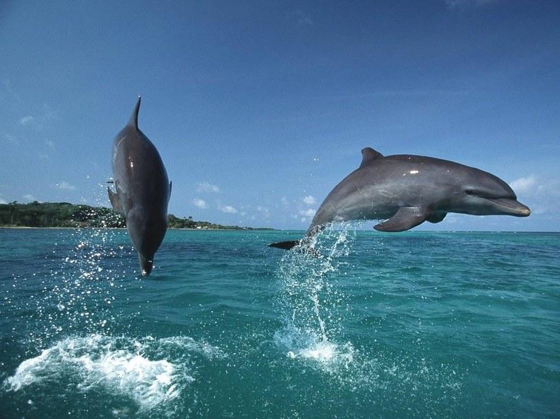 Delfiny wymyśliły sposób, jak sprowokować ryby do uwolnienia narkotyku... /East News