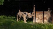 DHL dostarczył nosorożca czarnego, Eliskę, do Afryki