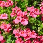 Diaskia: Jak ją pielęgnować, by pięknie rosła?