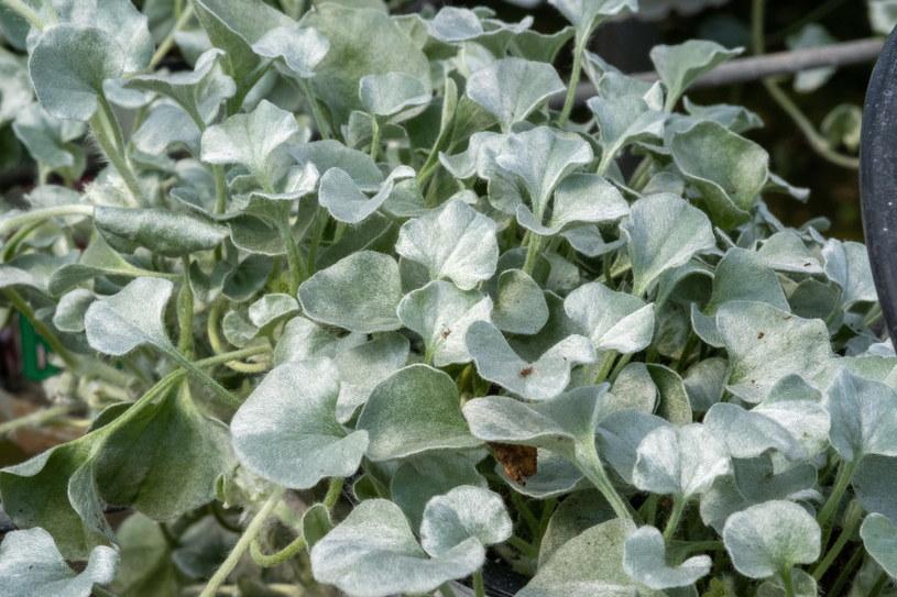 Dichondra srebrzysta jest rośliną jednoroczną /123RF/PICSEL