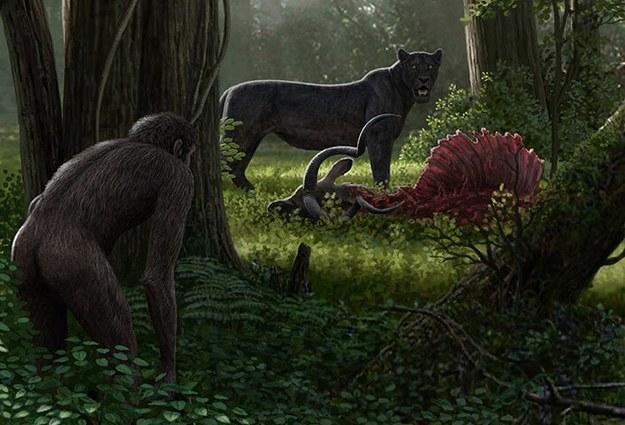 Dinofelis, drapieżnik, którego nasi dalecy przodkowie prawdopodobnie doprowadzili do wyginięcia /Rys. Mauricio Antón. Uniwersytet w Goeteborgu /Materiały prasowe