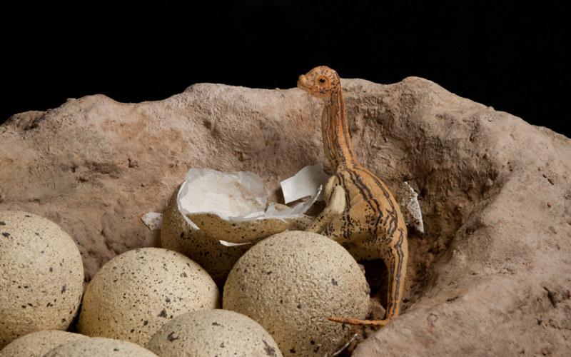 Dinozaury wyginęły, bo za dużo czasu spędzały w jajach? /fot. American Museum of Natural History /materiały prasowe