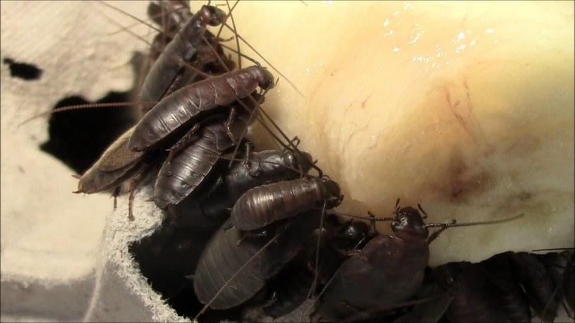 Diploptera punctata zjadające banana /YouTube