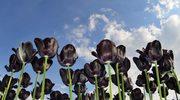 Dlaczego czarne tulipany nie miałyby szans na przetrwanie?