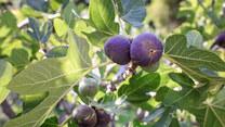 Dlaczego figi szczypią w język i kto nie powinien ich jeść