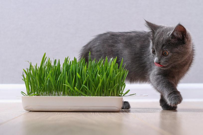Dlaczego koty jedzą trawę? /123RF/PICSEL