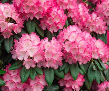Dlaczego liście rododendrona żółkną i opadają?