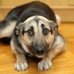 Dlaczego pies się trzęsie (drży)?