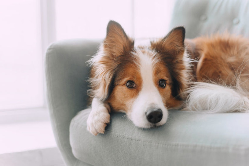 Dlaczego pies szczeka? Ponieważ bardzo tęskni za właścicielem /123RF/PICSEL