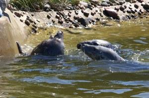 Dlaczego polskie foki giną w tak drastyczny sposób?