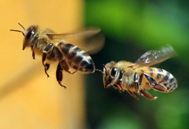 Dlaczego pszczoły nie mogą spać? /WOLFGANG KUMM /PAP/DPA