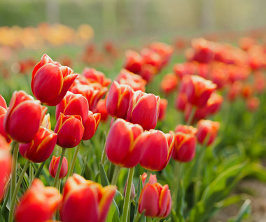Dlaczego rośliny cebulowe nie kwitną?