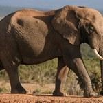 Dlaczego słonie nie chorują na nowotwory?
