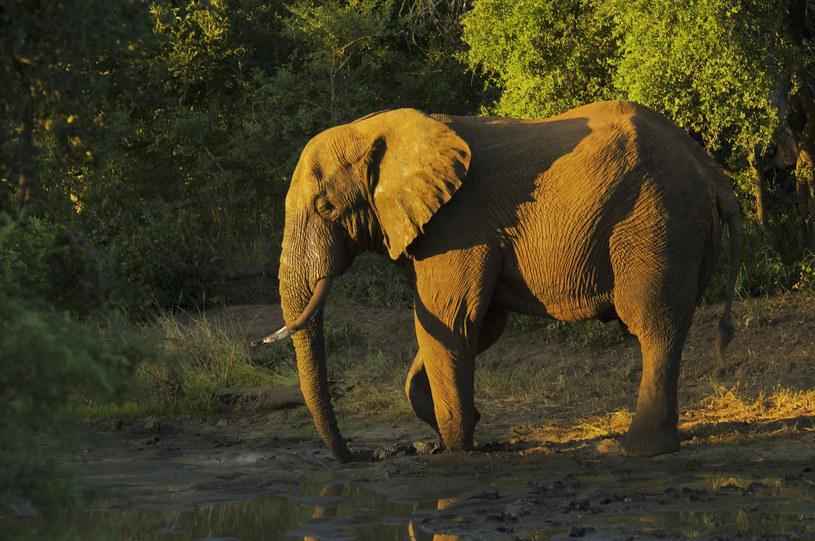 Dlaczego słonie nie umierają na raka? Już wiadomo /© Glowimages