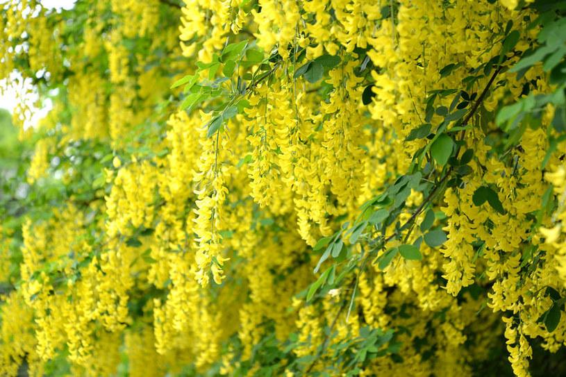 Dlaczego warto mieć złotokap w ogrodzie? /©123RF/PICSEL