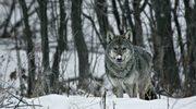 Dlaczego wilki pomagają drzewom?