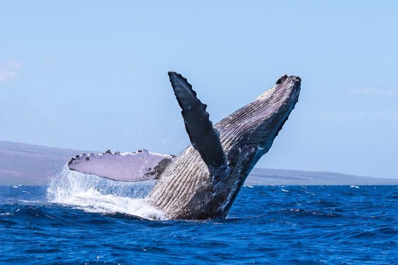 Długopłetwiec oceaniczny /Jon Cornforth / Media Drum World /East News