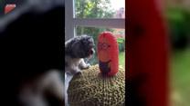 Dmuchana zabawka rozwścieczyła psa