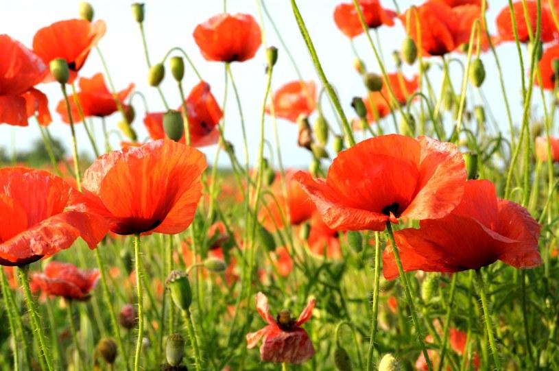 Do celów leczniczych zbiera się płatki kwiatów /123RF/PICSEL
