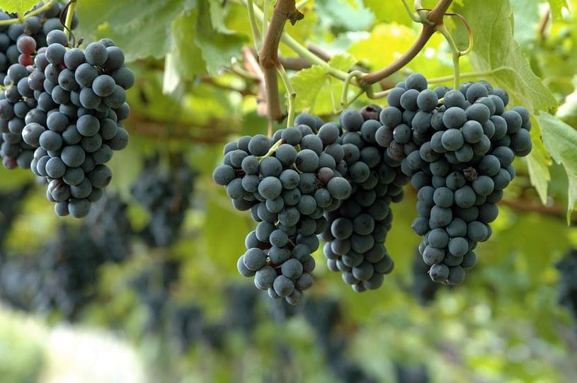 Do końca lata winorośl podlewaj raz w tygodniu wyciągiem z wrotyczu i czosnku. /123RF/PICSEL