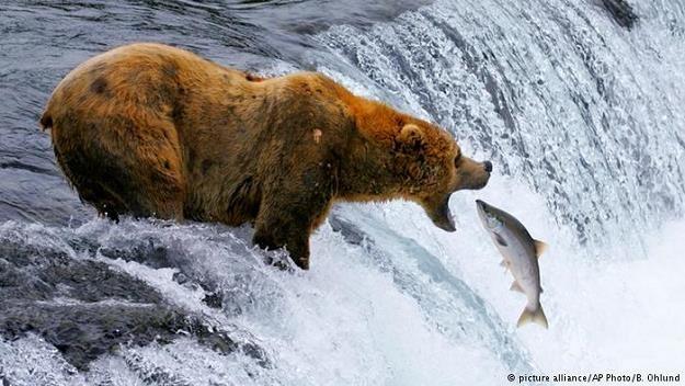 Do przeszłości należy obraz wynurzającego się z krystalicznej wody dzikiego, szkockiego łososia /Deutsche Welle