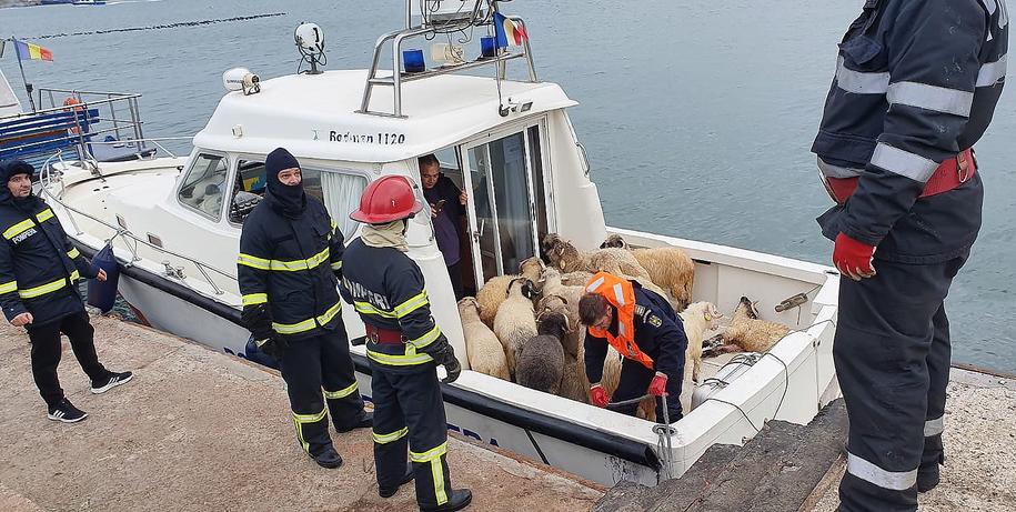 Do tej pory udało się uratować 32 owce /ISU  /PAP/EPA