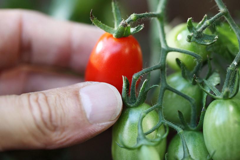 Do uprawy w pojemnikach nadaje się większość warzyw /123RF/PICSEL