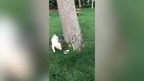 Dogonić własny ogon… a właściwie smycz. Uda się to temu szczeniaczkowi?