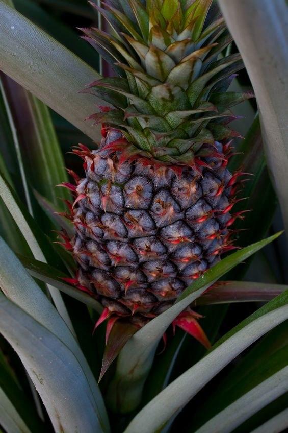Dojrzewający ananas /©123RF/PICSEL